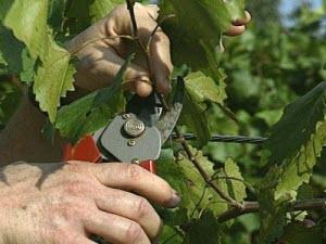 начало садовых работ, огородные работы, уход за виноградом