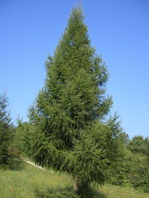 Деревья,кустраники,Сосна обыкновенная