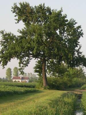 Деревья,кустраники,берёза